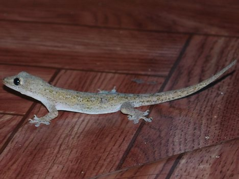 The common house lizard.