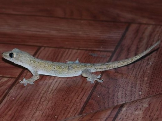 The common house lizard.