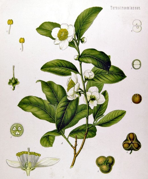 Camellia sinensis diagram from the 1897 edition of Köhler's Medicinal Plants