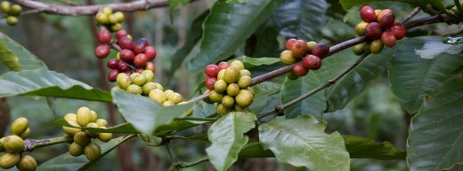 The seed of the coffee cherry is one of the world's best natural sources of caffeine. It is also a wonderful example of convergent evolution.