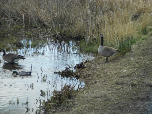 Canada geese - one was a little hissy to poor Lucky who trotted by nervously