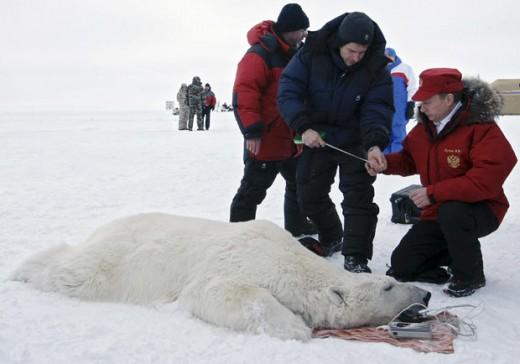Putin, the Polar Bear Conservationist
