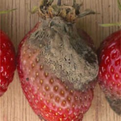 The gray mold fungus, shown here, is probably the most common form of damage (rot) to strawberries, but it can also attack a few hundred other plants as well.