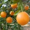 Benefits And Health Facts About Eating Oranges And Drinking Orange Juice In The Morning And When Sick