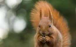 What a joy! To see a red squirrel up close.