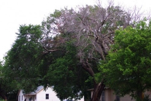 If your elm tree resembles this one, you can bet that it has Dutch elm disease and is dying.