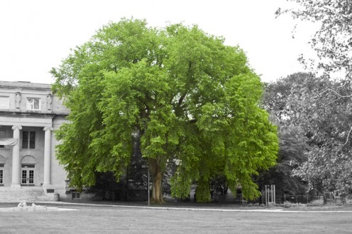 It would be a shame for something this gorgeous to die.   This is what a healthy elm tree should look like.