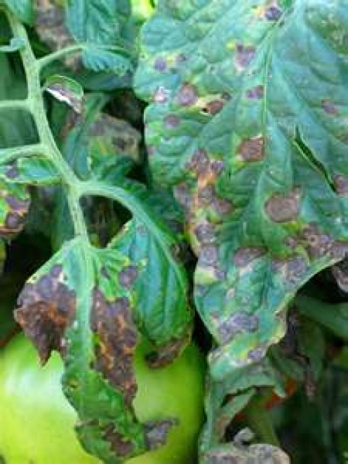 An example of early blight on tomato stems...