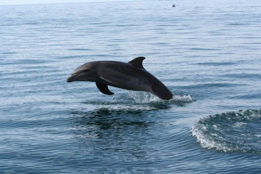 Dolphin playing in the wake of a boat
