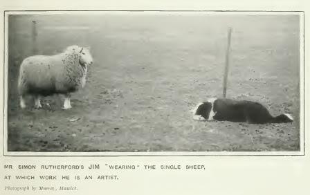 Border collie 1907