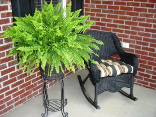 how to care for a boston fern. Black Bedroom Furniture Sets. Home Design Ideas