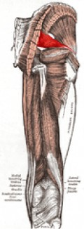 Piriformis muscle, which can become too tight as it crosses the sciatic nerve, which runs down the leg