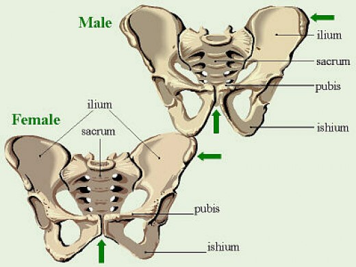 The PC muscle, which is strengthened with Kegels, fills the majority of the open space between the front and back of the pelvis.