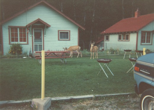 Deer by our cabins
