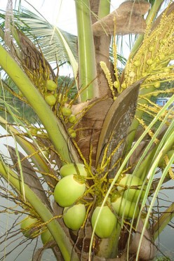 Health Benefits of Coconut Water - A Myth?