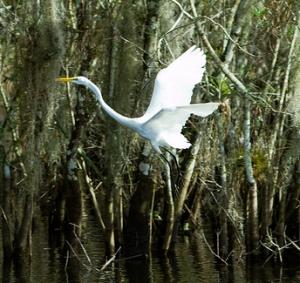 Impressive wading birds in the Florida Everglades