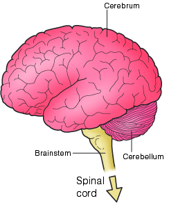 Brain Stem on a Simple Brain Diagram