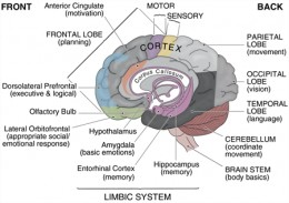 Detailed diagram of the brain