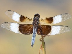 The Widow Skimmer Dragonfly