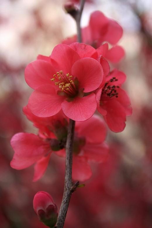 This beautiful spring flower is in the Eram Garden, also known as Bagh-é Eram (Garden of Paradise) a famous historic Persian garden in Shiraz, Iran.