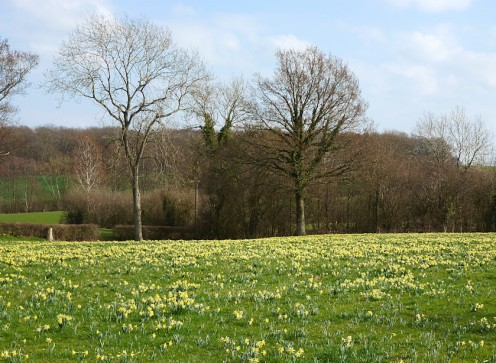 A field of wild Daffodils