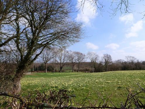 Wild daffodils on the Daffodil Way