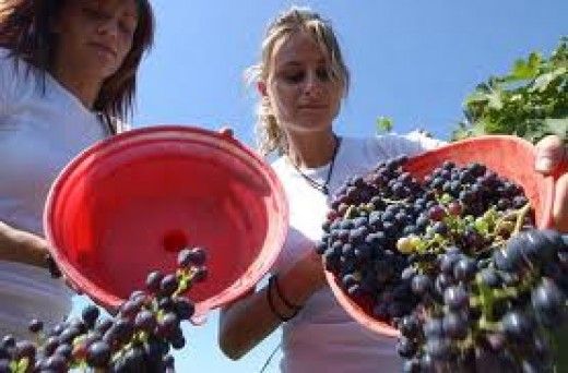 Men, women and children of all ages lend a helping hand.  When the grapes are ready, they need to be picked.
