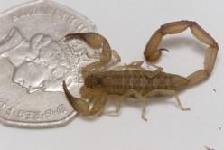 The Stinging Scorpion