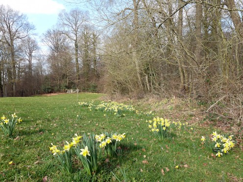 Wild daffodils along the hedgerows