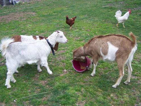 Miniature Lamancha, Standard Lamancha and Miniature Lamancha x Boer Dairy Goats.
