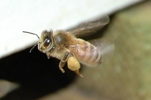A honey bee with a load of pollen.