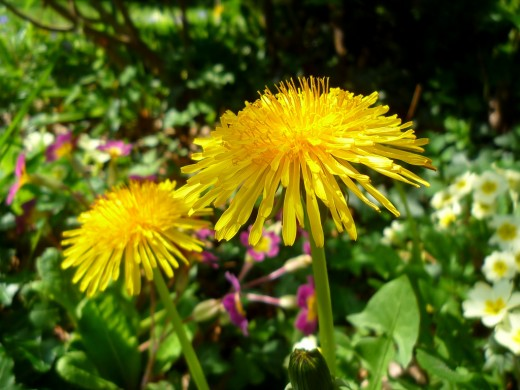 Dandelions are a very versatile weed! It is a weed that many people even buy the seeds for because its roots are very good for purifying the blood.