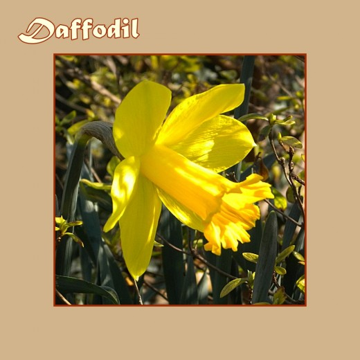 Daffodil - Early Flowers of Spring, photo by Rosie2010