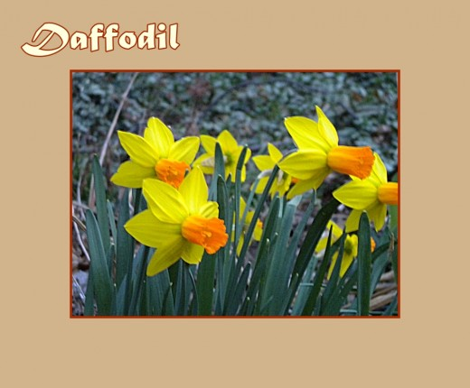 Daffodil with orange trumpet and yellow petals - Early Flowers of Spring, photo by Rosie2010