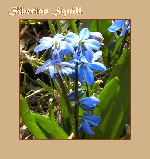 "Siberian Squill (Scilla siberica ""Spring Beauty"") - Early Flowers of Spring, photo by Rosie2010"