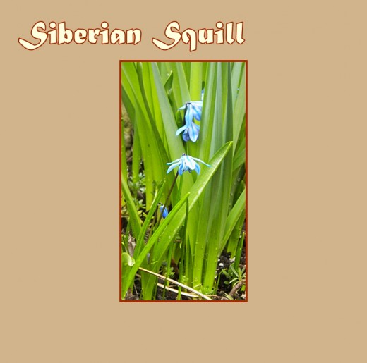 "Siberian Squill (Scilla siberica ""Spring Beauty"") decorating the daffodil leaves - Early Flowers of Spring, photo by Rosie2010"