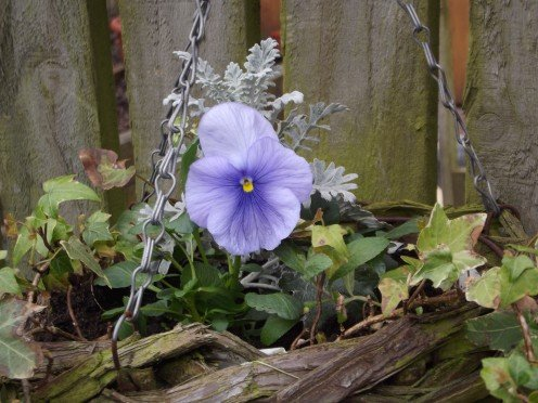 These are truly a beautiful plant the ever present pansies.