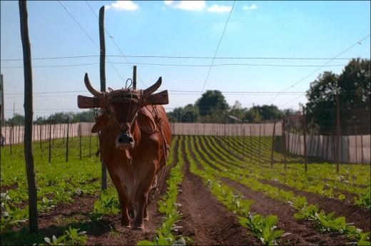 Cultivating famous cuban tabacco Pinar del Rio, Cuba