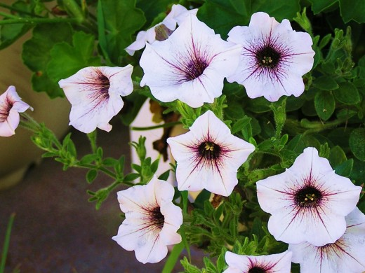 Beautiful lilac colored Petunia with darker purple veining.