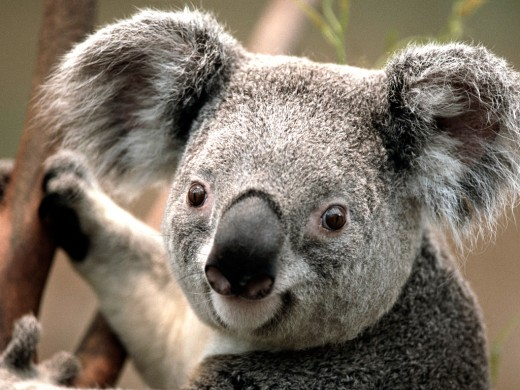 The Koala, is one of God's special creations that we get to enjoy because of Jesus' wonderful sacrifice.
