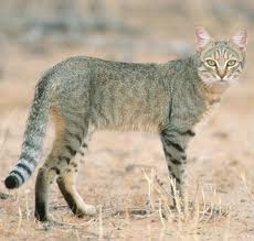 Can you really tell a difference between this cat and the cat above? In relation to wild, feral or domesticated..