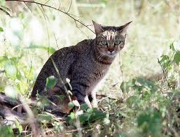 Wild Cats are all over the world. Except for Antartica.