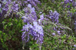 Wisteria - Springtime Flowers in North Carolina - Pictures Slide Show