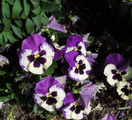 Cheerful Spring Pansies