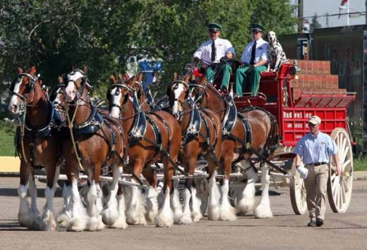 Famous team of Clydesdales in America