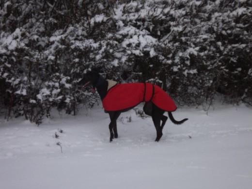 Maggie in her winter coat enjoying the snow