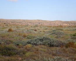 Emu family, Cape Range National Park, Western Australia.