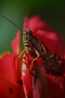 A grasshopper eating the petals of a flower.