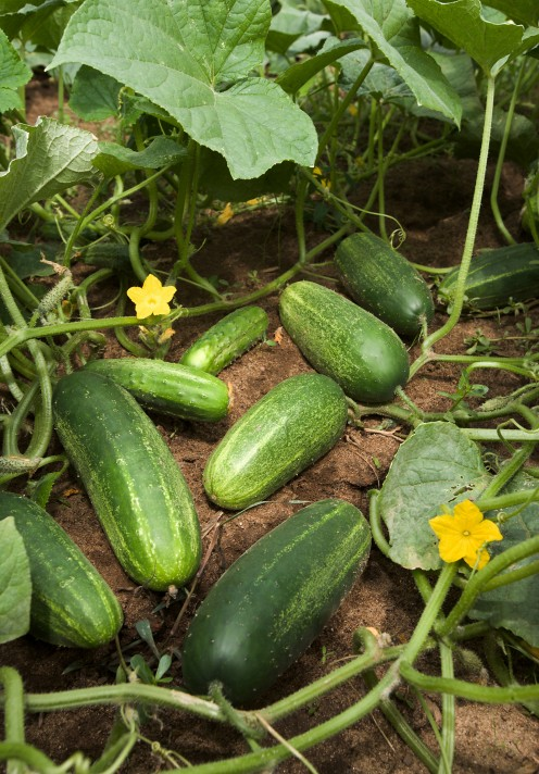 Cucumber fruit developing on plants possessing multiple lateral branching, which is atypical of commercial cucumbers. This type of branching is important because increasing branch number increases yield potential.