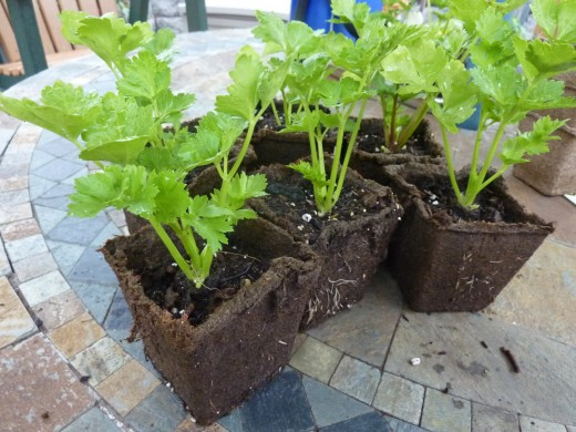 Healthy ,hardy celery plants are ready for transplant..